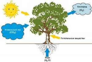 Фотосинтез у растений