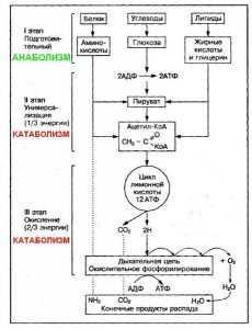 Схема освобождения энергии из питательных веществ